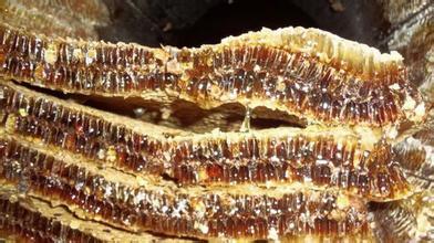 濒临灭绝婺源深山木桶土蜂蜜