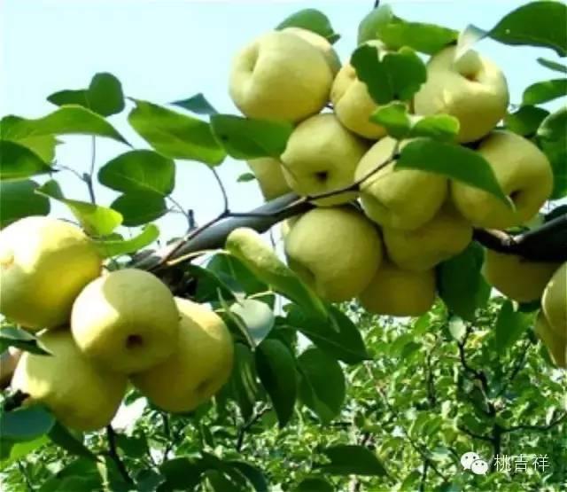 果树 树 水果 植物 640_555
